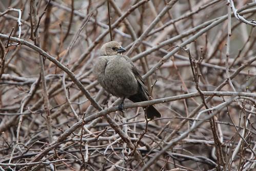 michigan brownheadedcowbird 2016 canoneosrebelt3i tamron150600