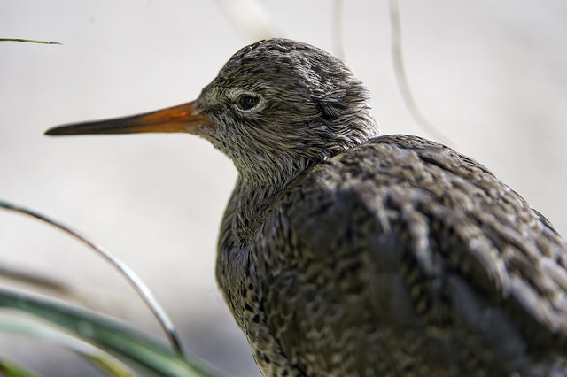 Profile of a common redshank