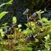 Mycena helminthobasis var. novaezelandiae E. Horak