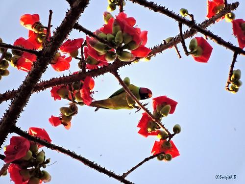 nature birds kerala parakeet kollam naturephotography birdsofindia thenmala blossomheadedparakeet birdsofkerala psittacularoseata പൂന്തത്ത birdsofkollam shenthuruniforest ചെന്തുരുണി