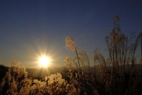 autumn sunset sunlight apple grass japan backlight aperture 日本 fujifilm 夕日 fujinon yamanashi appleaperture silvergrass ススキ 山梨県 autumnsunset xq1 一宮町 笛吹市 potopoto53age fujifilmxq1 fujinon4xopticalzoomlens25mm〜100mmf18〜f49 fujinon4xopticalzoomlens ichinomiyafuefukishi