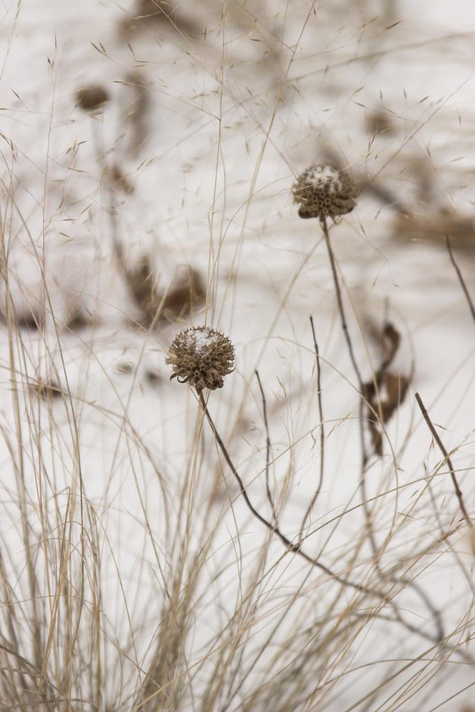 snowy monarda