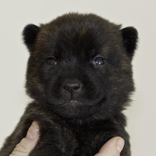 Kumi-Litter5-Day20-Puppy2-Female-a