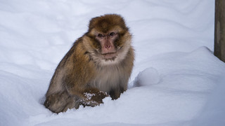 """snow"" monkey"