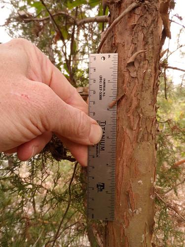 Cedar/Juniper