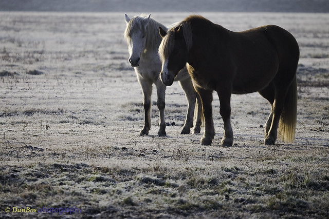 Horses on a winter morning