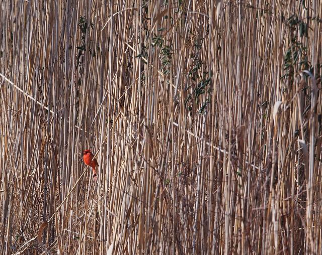 reed texture with cardinal
