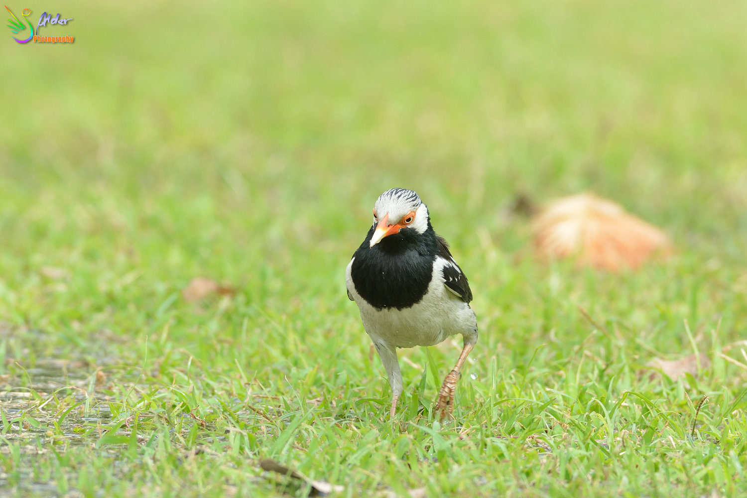 Asian_Pied_Starling_1509