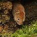 Bank Vole (Clethrionomys glareolus)foraging for food. by Sandra Standbridge.