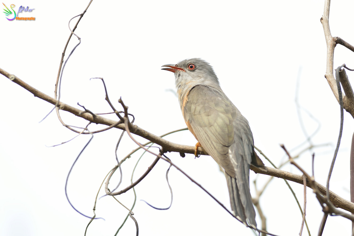 Plaintive_Cuckoo_1828