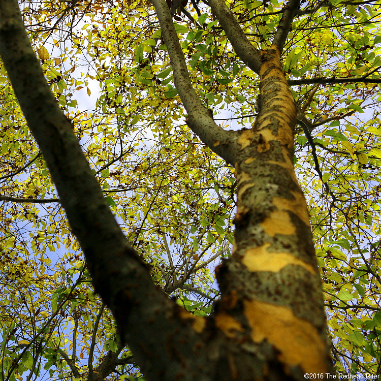 summer tree with green leaves