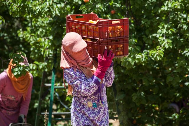 La cueillette des abricots (BY-ND/GIZ- Nadine Guenther)