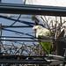 Monk Parakeets on Long Island, NY