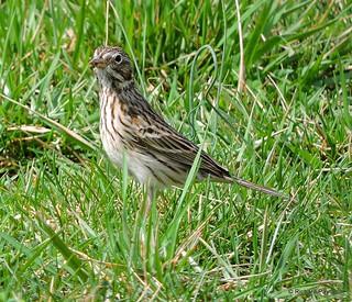 Vesper Sparrow_N3670