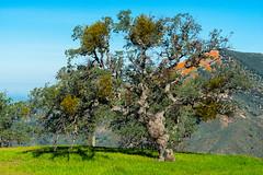 Gnarly Oak Tree
