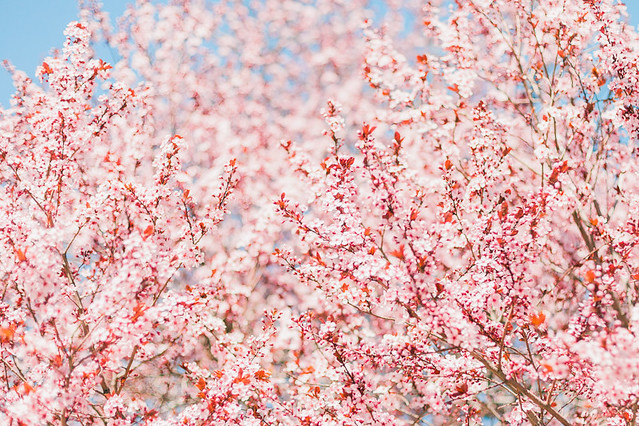 Cherry-Blossoms-35