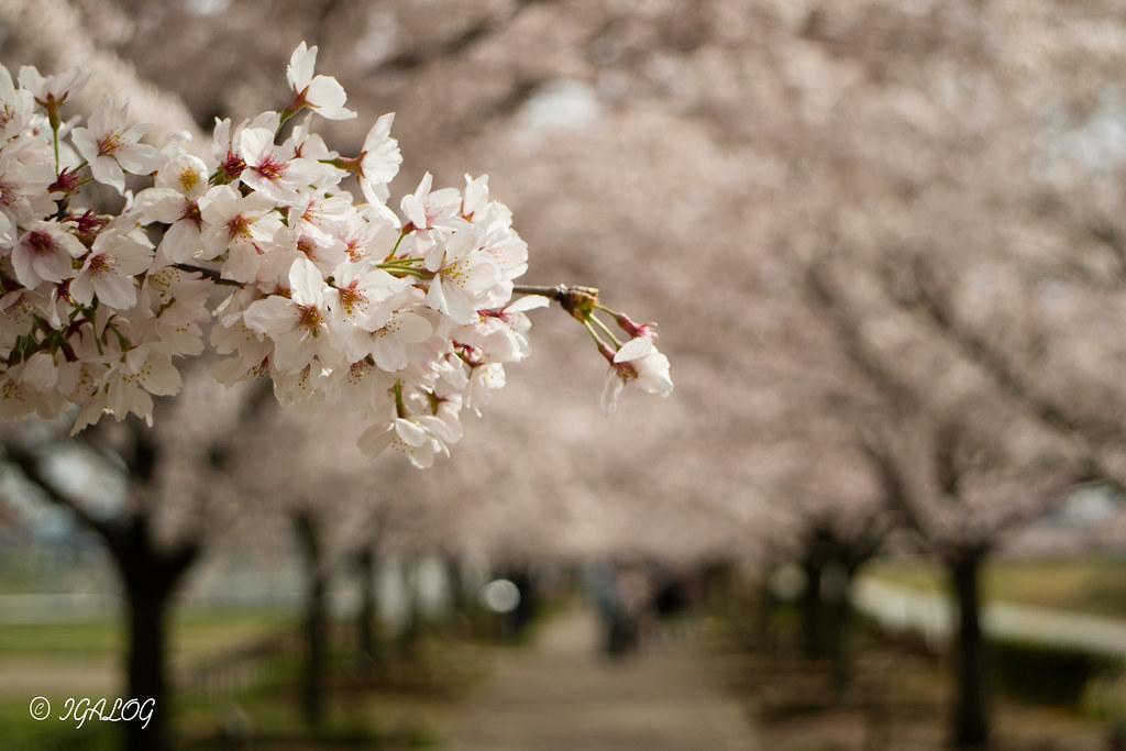 おの桜づつみ回廊-009