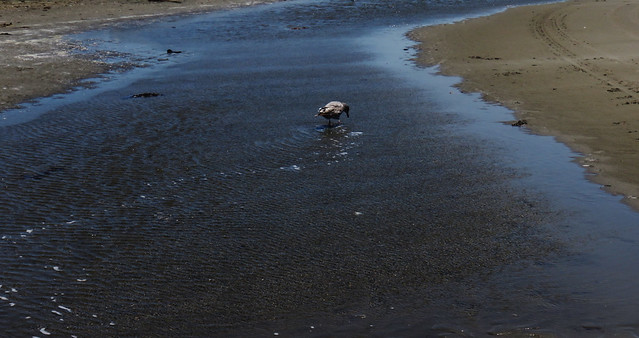 Seagull in a tide pool at Ocean Beach, San Francisco (2015)