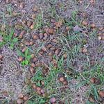 Oak trees: acorns