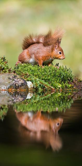 England_NorthYorkshire_Richmondshire_Hawes_RedSquirrel_Reflection
