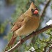 Mrs Cardinal! by ineedathis, the older I get, the more fun I have!