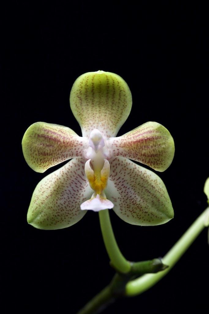 Phalaenospis amboinensis x celebensis 24450045562_d0cb0363a5_b