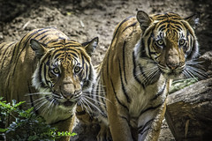 Malayan Tigers Brothers Berani and Cinta at the San Diego Zoo