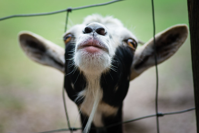 54-366 Goats
