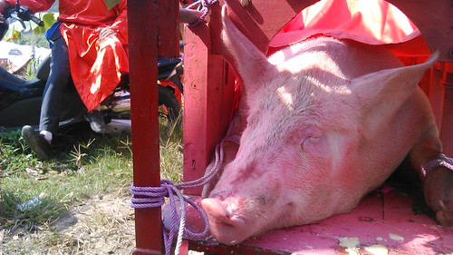 The two terrified  pigs were tied up, covered with paint, and forced into a crate