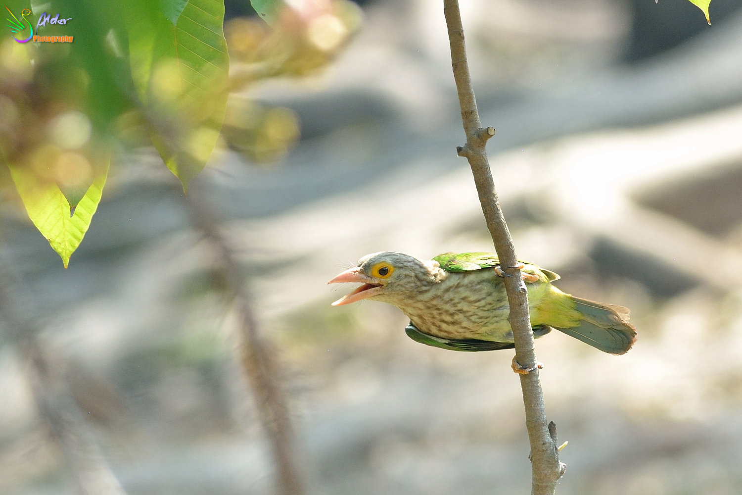 Lineated_Barbet_9429
