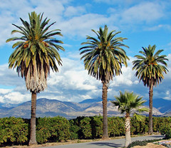 Oranges, Palms and Mountains, Redlands, CA 1-08