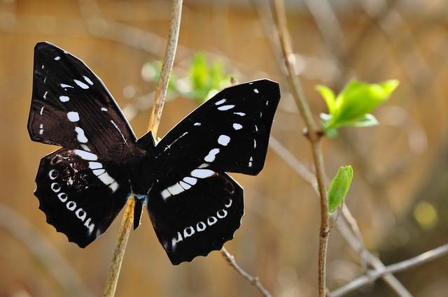 Kevadliblikad, liblikakevad : )