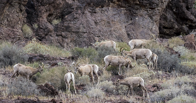 Long Horn Sheep 32_7D2_240316