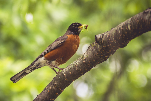 American Robin - Toronto High Park, ON, Canada