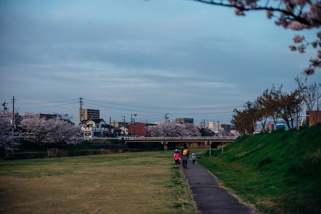 CherryBlossoms_407
