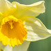 Daffodil by AliceWilliamsPhotography