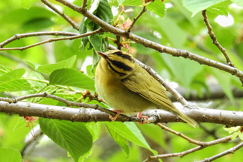 Central Park: Worm-eating Warbler