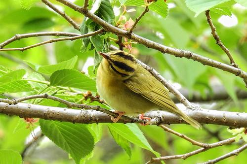 Central Park: Worm-eating Warbler