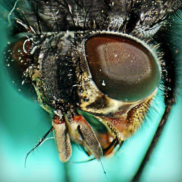 housefly-fly little closer