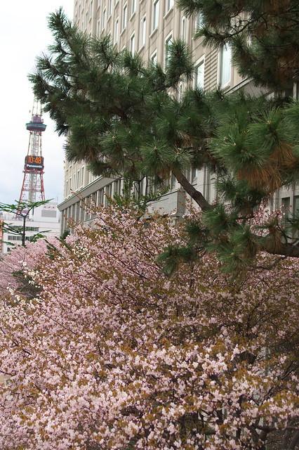 2016428のホテルモントレエーデルホフ札幌の桜_02