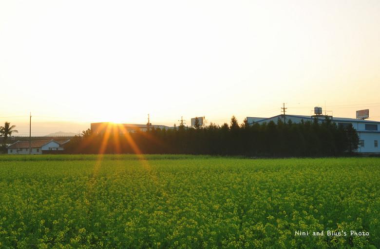 芬園落羽松10