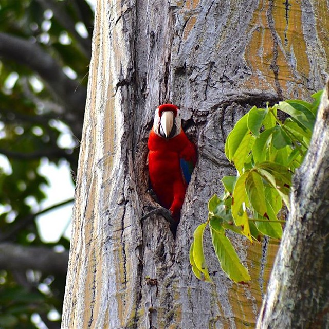 Have you seen a Red macaw nesting?? from Dec to April is the macaw nesting season is Costa Rica, for the firts 22 days the females incubate the eggs, After 75 days old, the chicks fledge