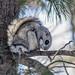 Siberian Flying Squirrel (Pteromys volans) Олби оготно by Purevsuren Tsolmonjav