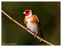 HolderDS0D3977-Goldfinch