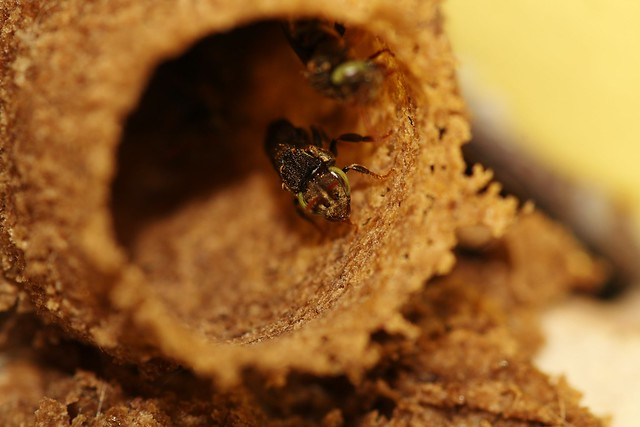 Meliponini Nests