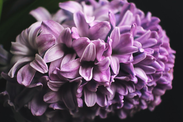 IMG_3544ed, The Curly Head, thecurlyhead, amelie, spring, hycinthus, hyazinthen, shoot, dark background, blog, photography, still life, flower, flowers
