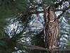 Skovhornugle (Asio otus) - Long eared owl - Waldohreule - Búho Chico by Søren Vinding