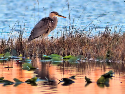 Great Blue Heron2 HDR 20160218