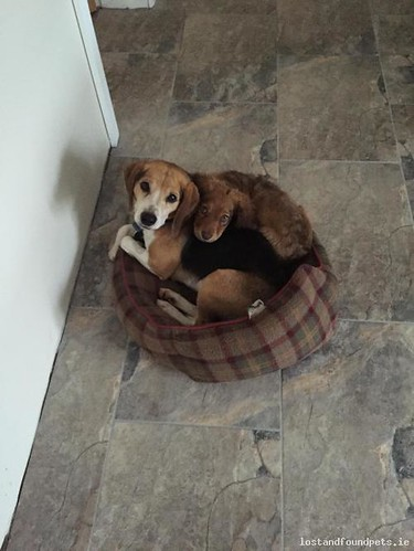 Tue, Feb 23rd, 2016 Lost Male Dog - Keenogue, Monaghan
