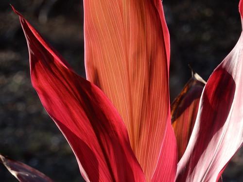 Campeche- kennen wij als kamerplant